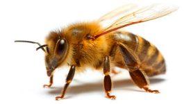 A Importância das Abelhas e por que precisamos delas.